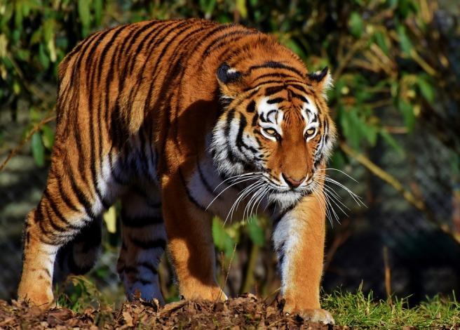 tiger-3075373_960_720