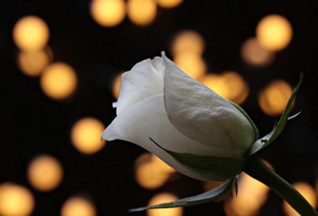 rose-3121243_1280